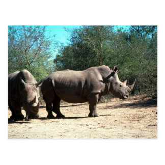 Cartão Postal Rhinos brancos