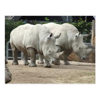 Cartão Postal Rhinos brancos do norte pstos em perigo