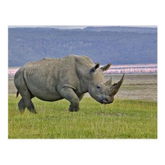 Cartão Postal Rinoceronte e distante brancos poucos flamingos,