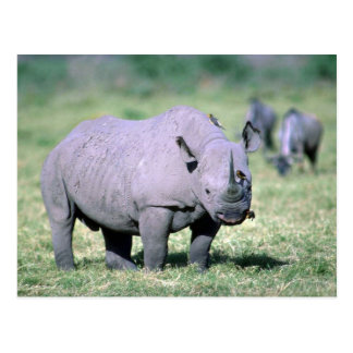 Cartão Postal Rinoceronte preto alerta