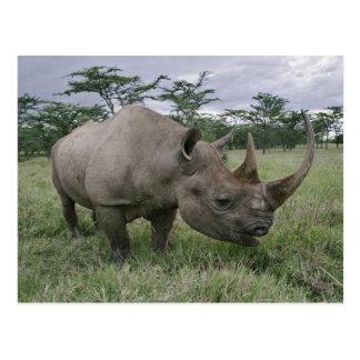 Cartão Postal Rinoceronte preto, bicornis do Diceros, Kenya 2