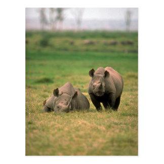 Cartão Postal Rinoceronte preto - mãe com grande vitela