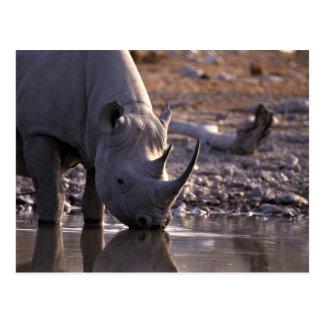 Cartão Postal Rinoceronte que bebe em um lugar molhando