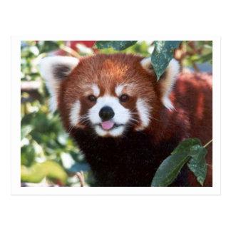 Cartão Postal Riso da panda vermelha