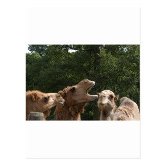 Cartão Postal riso do camelo
