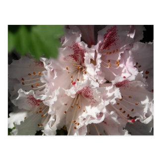 Cartão Postal Rododendro cor-de-rosa 2
