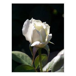 Cartão Postal Rosa branco