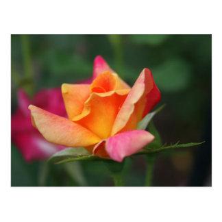 Cartão Postal Rosa do amarelo e do rosa