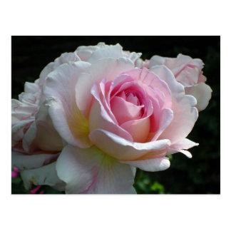 Cartão Postal Rosa do rosa