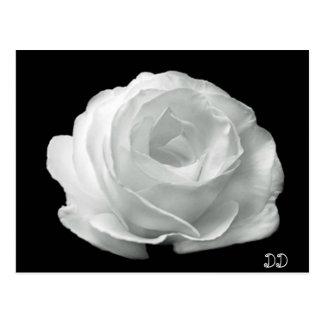 Cartão Postal Rosa preto e branco