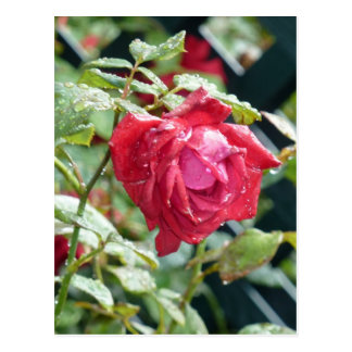 Cartão Postal Rosa vermelha