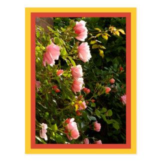 Cartão Postal Rosas de escalada corais