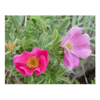 Cartão Postal Rosas F0004 selvagens