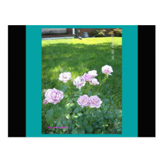 Cartão Postal Rosas impressionantes de Lavendar