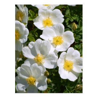 Cartão Postal Rosas selvagens brancos