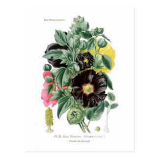 Cartão Postal Rosea de Althaea (Hollyhock)