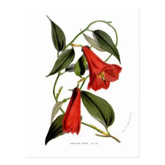 Cartão Postal Rosea de Lapageria