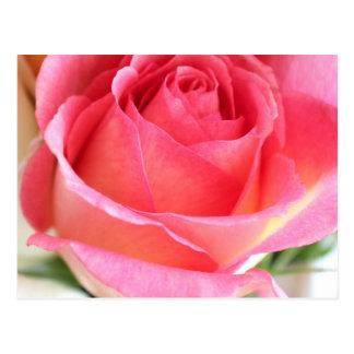 Cartão Postal Rosebud cor-de-rosa 2