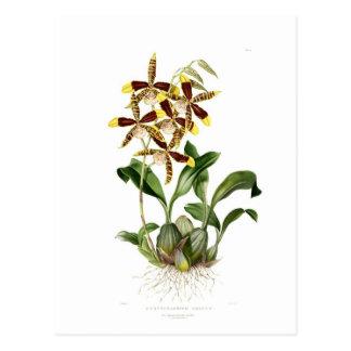 Cartão Postal Rossioglossum grandioso