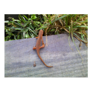 Cartão Postal Salamandra