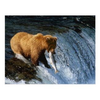 Cartão Postal Salmões de travamento do Alasca do urso de Brown