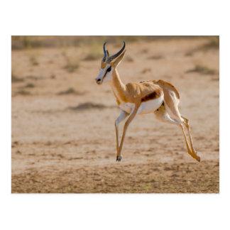 Cartão Postal Salto masculino da gazela (Marsupialis do
