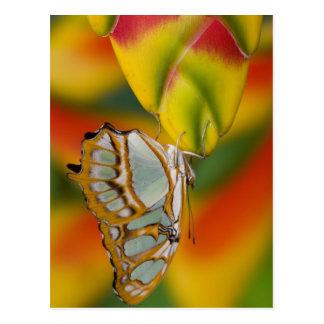 Cartão Postal Sammamish, borboleta tropical 7 de Washington