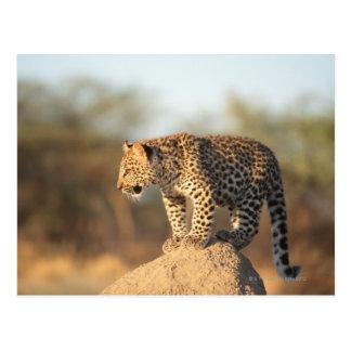 Cartão Postal Santuário de animais selvagens de Harnas, Namíbia