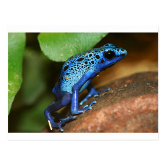 Cartão Postal sapo azul da seta do veneno