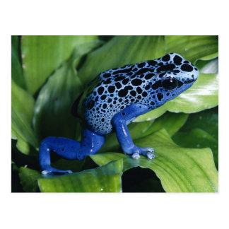 Cartão Postal Sapo azul do dardo do veneno