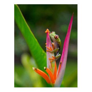 Cartão Postal sapo de árvore do Vermelho-olho, Costa Rica 2