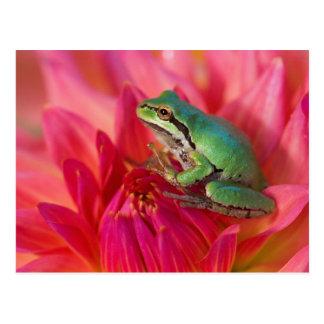 Cartão Postal Sapo de árvore pacífico nas flores em nosso