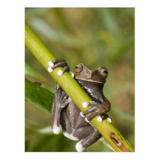 Cartão Postal Sapo de árvore prisioneiro Hyloscirtus de