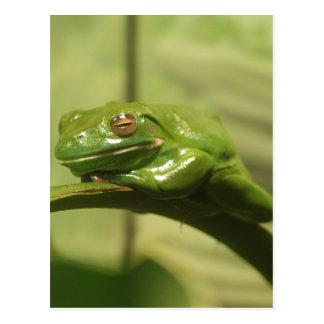 Cartão Postal Sapo de árvore verde