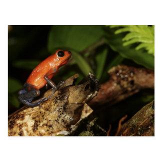 Cartão Postal Sapo do Veneno-dardo da morango (Dendrobates 2
