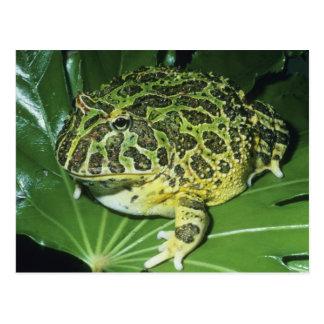Cartão Postal Sapo Horned ornamentado, (ornata de Ceratophrys),