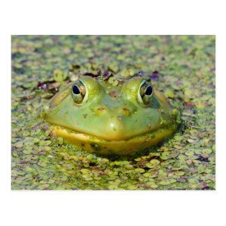 Cartão Postal Sapo verde na lentilha-d'água, Canadá