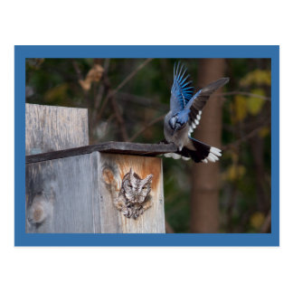 Cartão Postal Screech-Coruja molestada por Jay azul