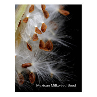 Cartão Postal Sementes do Milkweed