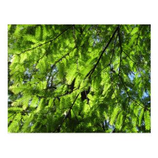 Cartão Postal Sequóia vermelha de alvorecer (Metasequoia)