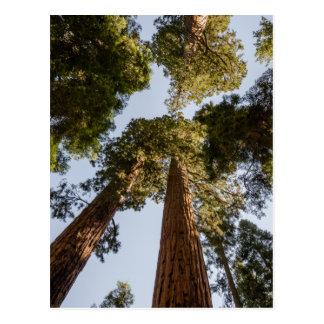 Cartão Postal Sequóias gigantes no parque nacional de sequóia