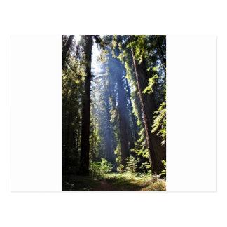 Cartão Postal Sequóias vermelhas de Califórnia