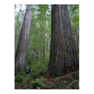 Cartão Postal Sequóias vermelhas de Oregon
