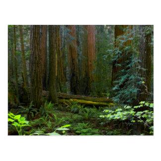 Cartão Postal Sequóias vermelhas no parque nacional das madeiras
