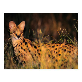 Cartão Postal Serval (Serval de Leptailurus) na grama longa