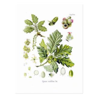 Cartão Postal Sessiliflora do Quercus (carvalho Sessile)