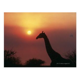 Cartão Postal Silhueta do girafa (Giraffa Camelopardalis)