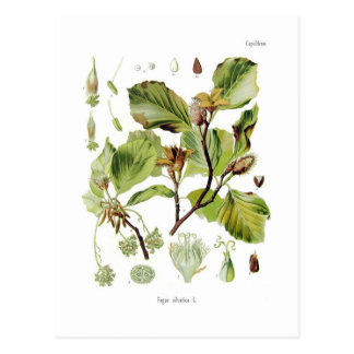Cartão Postal Silvatica do Fagus (faia)