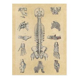 Cartão Postal Sistema esqueletal humano ilustrado