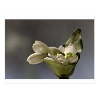 Cartão Postal Snowdrop (nivalis de Galanthus)